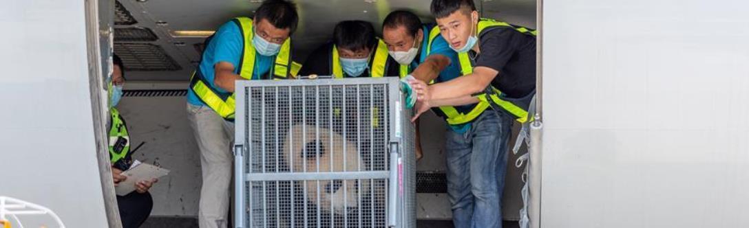 江苏扬州:转运大熊猫